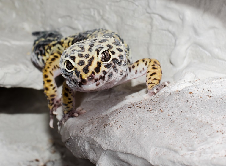 leopardgecko terrarienbewohner für anfänger zooroyal magazin