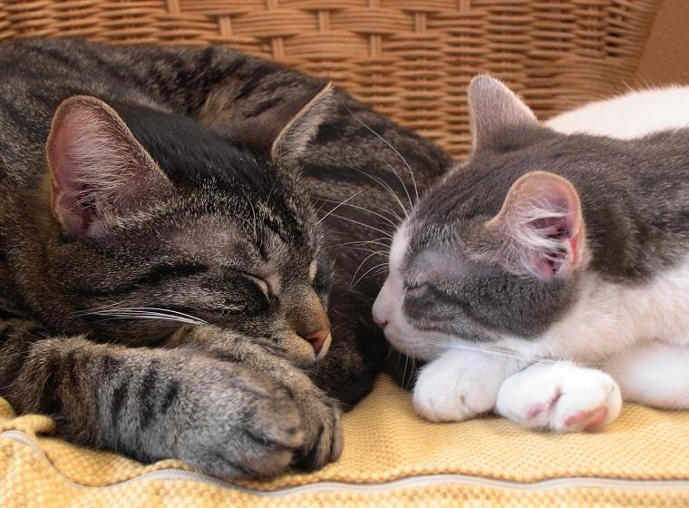 Katzen zusammen halten: Mehrkatzenhaushalt