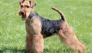Welsh Terrier im Rasseportrait