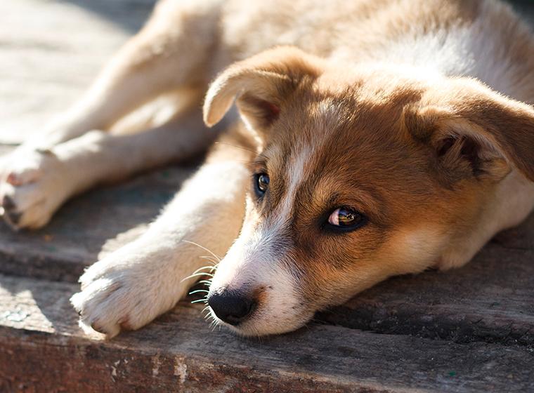 Hat mein Hund Schmerzen?