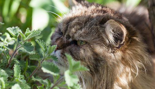Katzenminze: So wirkt Catnip auf Katzen