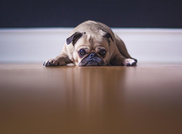 Übergewicht beim Hund