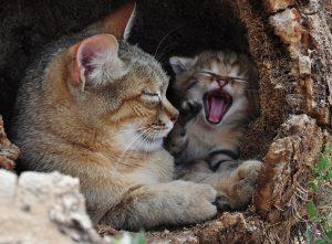 Falbkatze mit Kitten