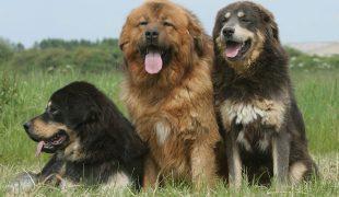 Do Khyi Tibet Dogge