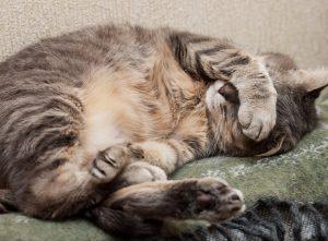 Katzenverhalten: Warum gurren Katzen im Schlaf?