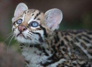Ozelot Kitten