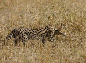 Serval: Vorfahre der Savannah Katze