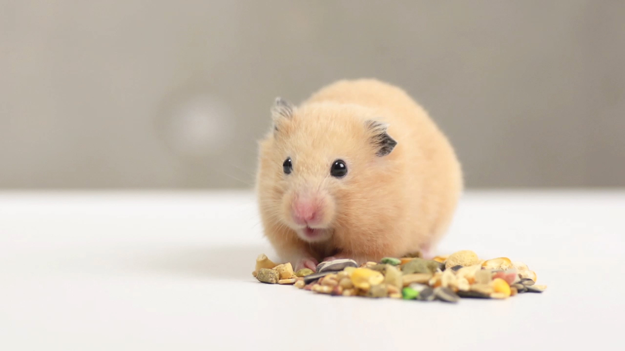 was brauchen hamster f r ein artgerechtes leben. Black Bedroom Furniture Sets. Home Design Ideas