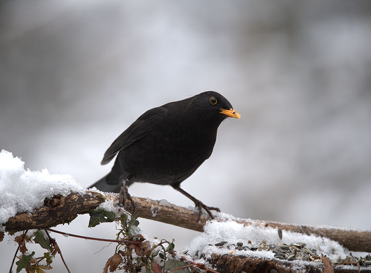 Wintervogel Amsel