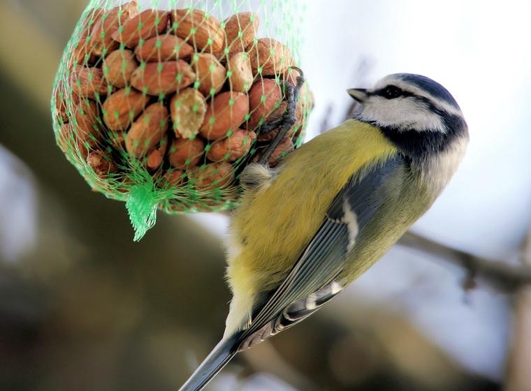 Stunde der Wintervögel: Blaumeise