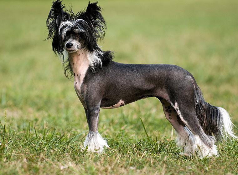 chinesischer schopfhund im rasseportrait zooroyal magazin. Black Bedroom Furniture Sets. Home Design Ideas