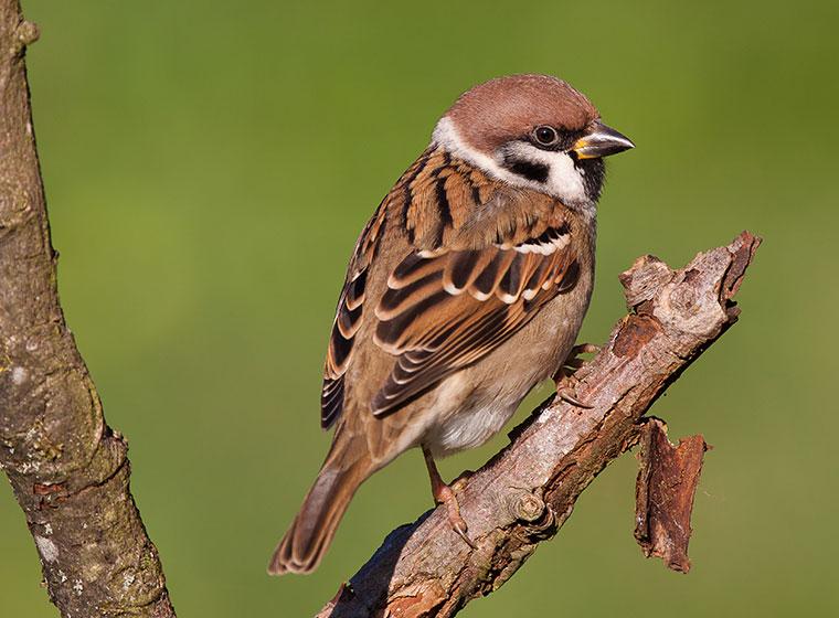 Stunde der Wintervögel: Feldsperling