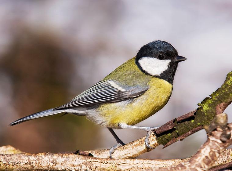 Stunde der Wintervögel: Kohlmeise