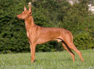 Pharaonenhund2