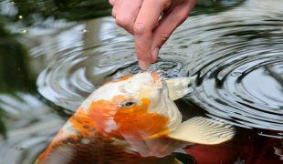 Teichfischfütterung: Teichfische richtig füttern