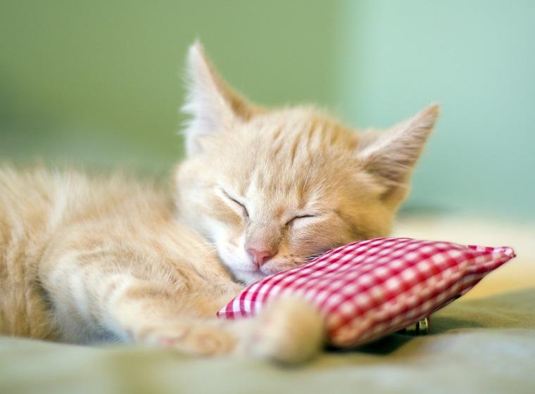 Katze mit Baldrian Kissen