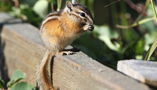 Streifenhörnchen Haltung