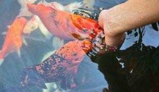 Teichbewohner anschaffung haltung und pflege zooroyal Teichfische deutschland