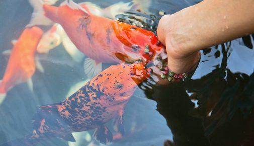 Teich magazin alle themen rund im den gartenteich for Goldfischteich pflege