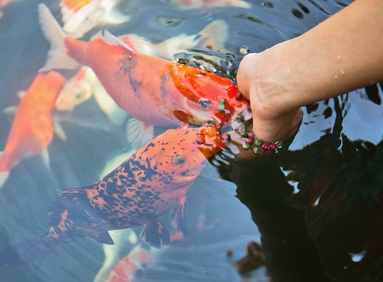 Teichfische in jeder Jahreszeit richtig füttern