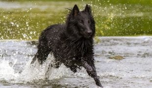 Groenendael: Belgischer Schäferhund