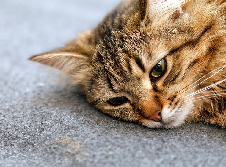 Katzenjammer – Wenn die Katze extrem viel miaut | ZooRoyal Magazin