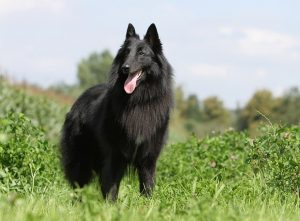Belgischer Schäferhund: Groenendael