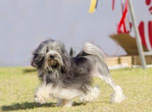 Löwchen: Petit chien lion