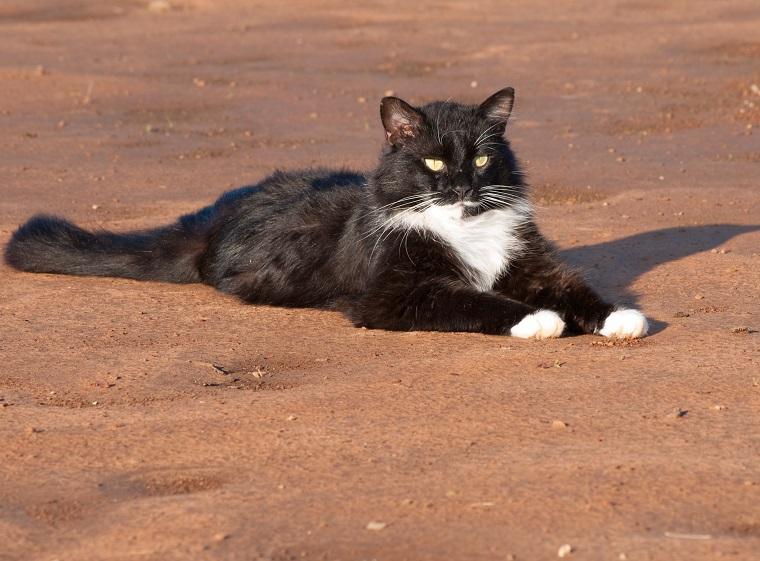 Tuxedo Cats: Katzen im Smoking