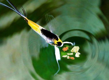 Fischfütterung im Aquarium