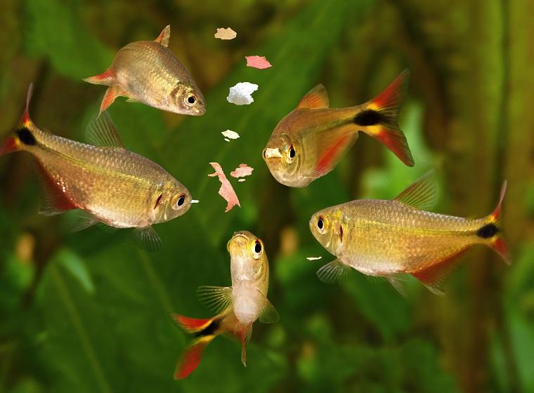 Fütterung Aquarienfische