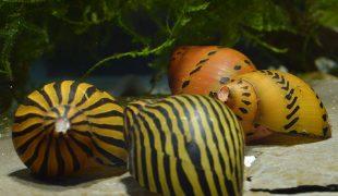 Zebrarennschnecke im Aquarium