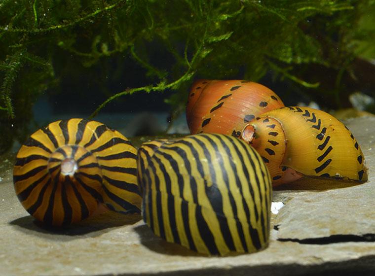 Zebraschnecke im Aquarium