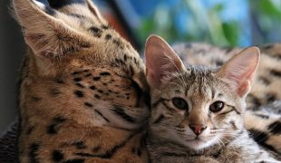 Savannah-Katzen