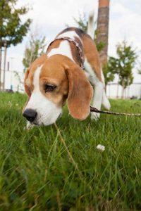 Beagle schnüffelt