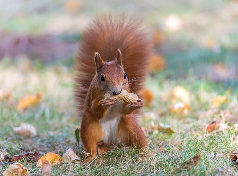 Eichhörnchen im Herbst