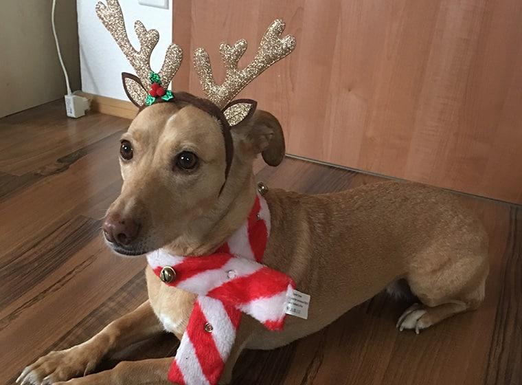 Weihnachtsdackel
