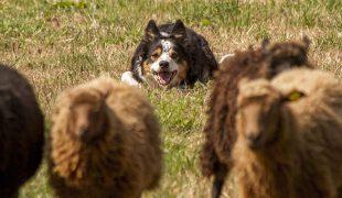 Huetehund bewacht Schafe