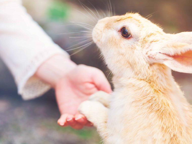handzahmes kaninchen