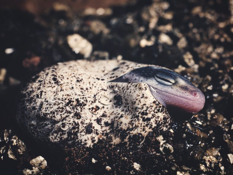 Inkubation - Gecko schlüpft