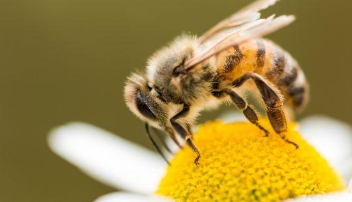 Nutzen der Honigbienen