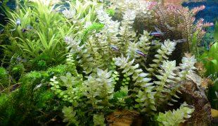Pflanzenpflege im Aquarium