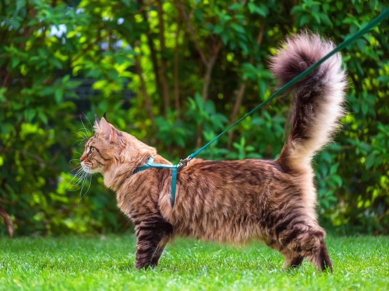 Leinengang mit Katze