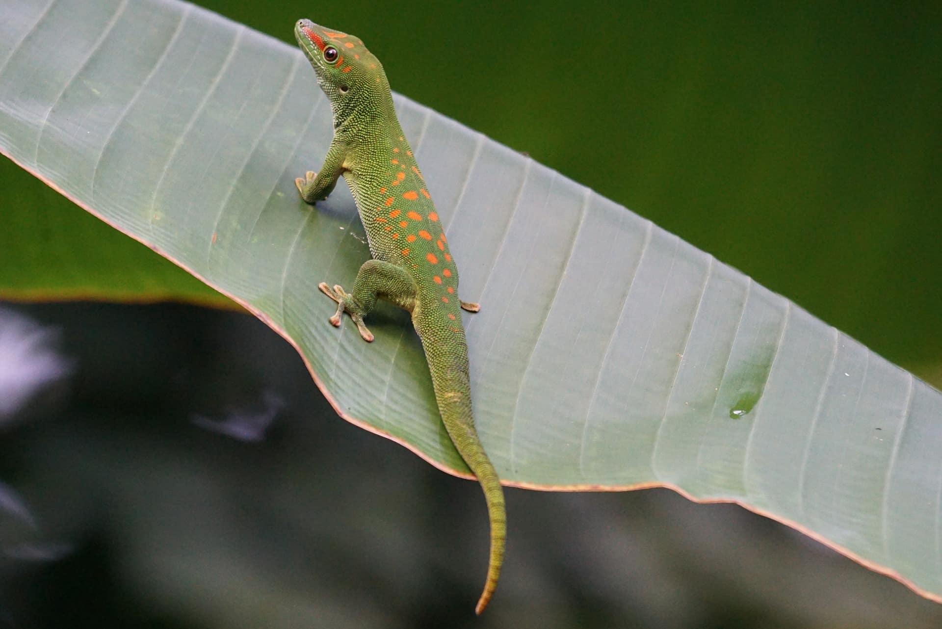 der Madagaskar-Taggecko