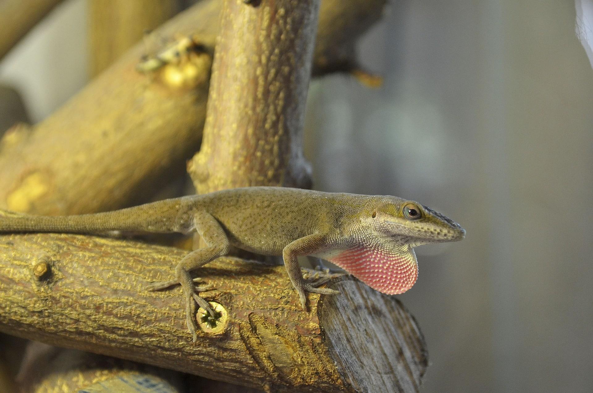 Rotkehlanolis
