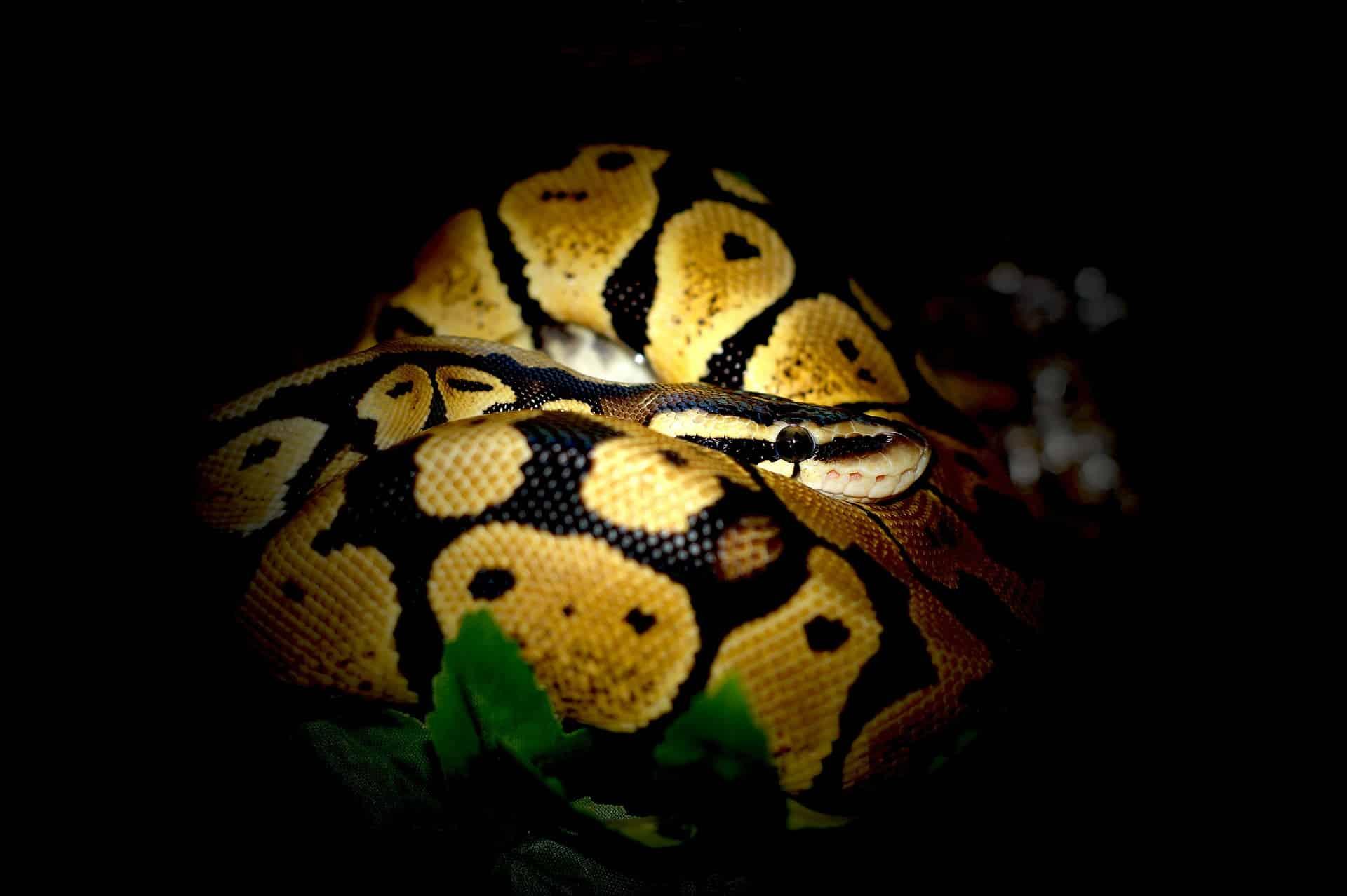 Eingerollter Python