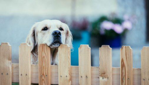Hund bellt am Gartenzaun