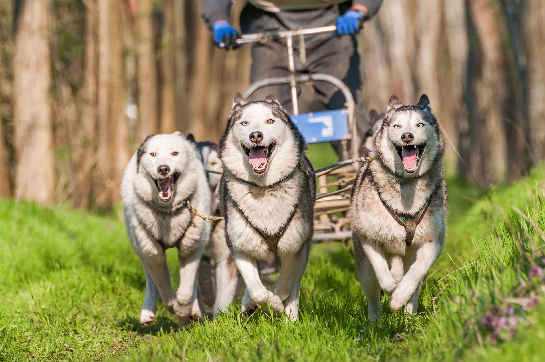 Zughunde