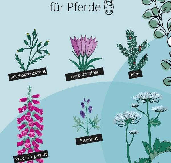Giftige Pflanzen für Pferde Infografik