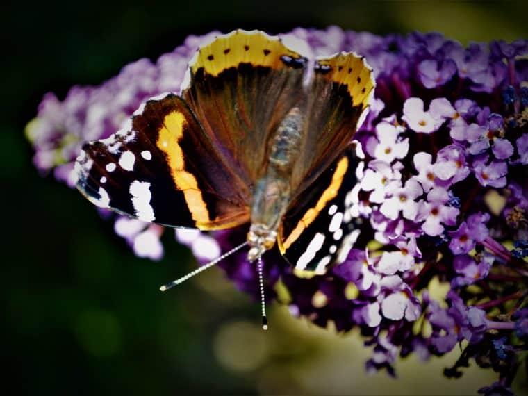 Heimische Schmetterlinge: Admiral